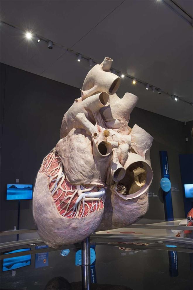 Trái tim cá voi xanh được bảo tồn hoàn chỉnh đầu tiên trên thế giới có kích thước khổng lồ: Dự tính nó có thể tồn tại đến 1000 năm! - Ảnh 1.