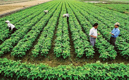 Sở NN-PTNT Gia Lai khuyến cao người dân không nên xuống giống ồ ạt, sản xuất theo quy mô lớn, mà xuống giống theo nhiều lứa khác nhau, xuống giống đa dạng nhiều loại vật nuôi, cây trồng.
