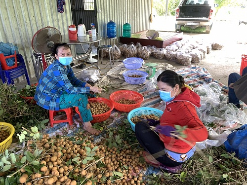 Nông sản miền Tây tời ngày thu hoạch nhưng không tiêu thụ đượớ