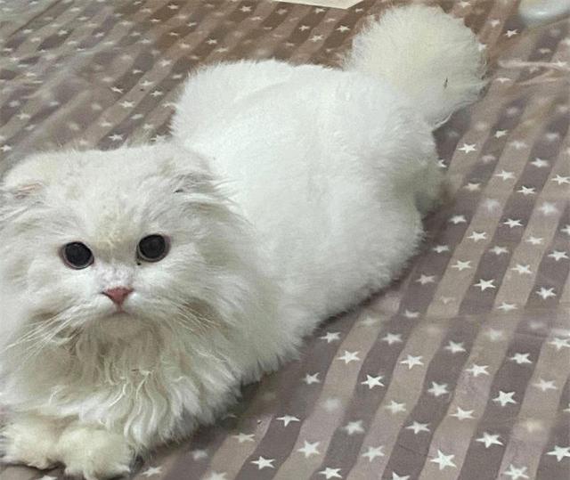 Được tặng chú mèo tai cụp ngoan ngoãn, cô gái đang vui thì nhận được câu nói như 'sét đánh ngang tai' từ bác sĩ thú y - Ảnh 1.