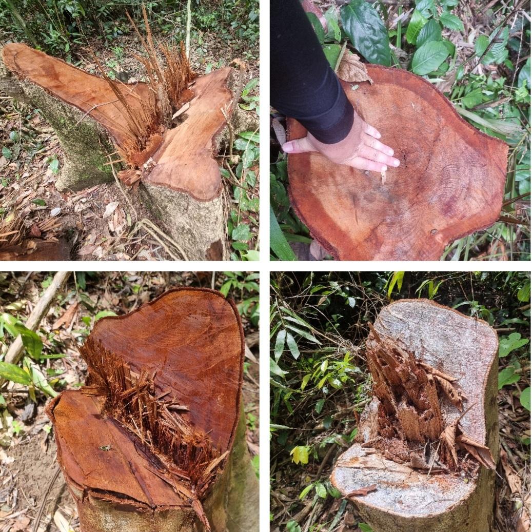 Theo ông Nguyễn Chung, Hạt trưởng Hạt kiểm lâm Minh Hóa là những gốc cây chưa đánh dấu này đã được kiểm tra trước đó nhưng quên đánh dấu.