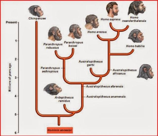 Tại sao các loài động vật khác có nhiều chi, họ, nhưng con người hiện đại lại chỉ có một? - Ảnh 2.