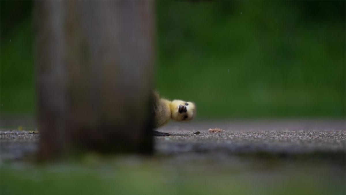 Một chú ngỗng con đang chơi trò trốn tìm ở Công viên Lee Valley, London Anh. Khoảnh khắc này đã được tác giả Charlie Page chụp lại đầy hài hước và đáng yêu.