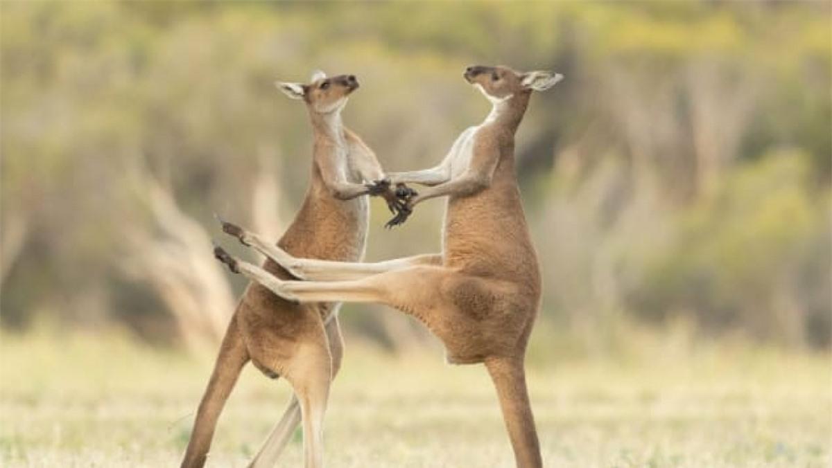 Hai chú chuột túi đang đánh nhau được nhiếp ảnh gia Lea Scaddan ghi lại ở Perth, Australia.