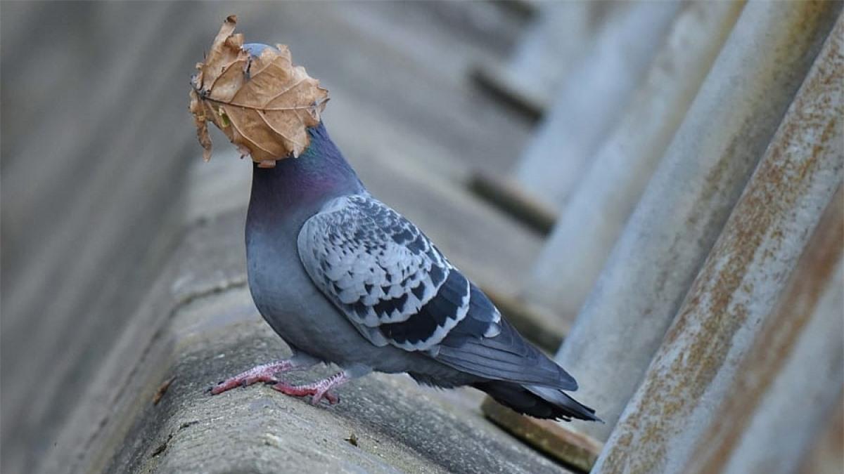 Chú chim bồ câu này dường như không mấy dễ chịu khi bị một chiếc lá bay thẳng vào mặt. Bức ảnh này đã được John Spiers ghi lại ở Oban Argyll, Anh.