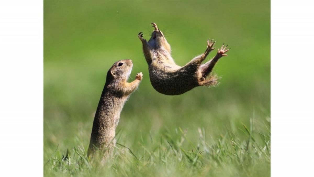 Những chú chuột túi má đang chơi đùa vui vẻ với nhau trong bức ảnh của nhiếp ảnh gia Roland Kranitz ở Hungary.
