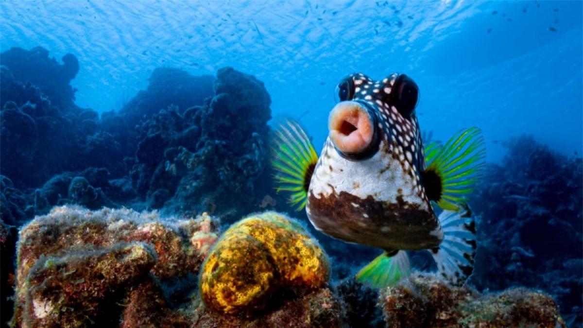 Nhiếp ảnh gia Philipp Stahr đã chụp được khoảnh khắc rất ấn tượng khi một chú cá hộp dường như đang trề môi trước camera.