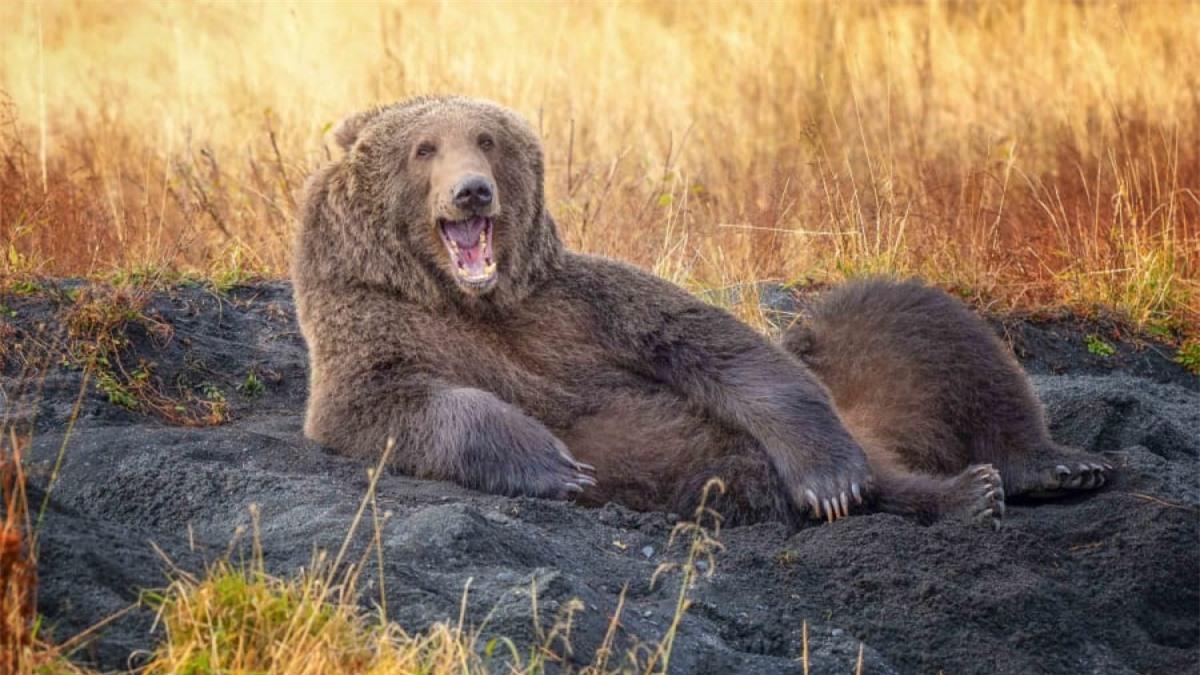 Chú gấu nâu này có vẻ rất thư giãn khi nằm trên cát và dường như còn đang mỉm cười