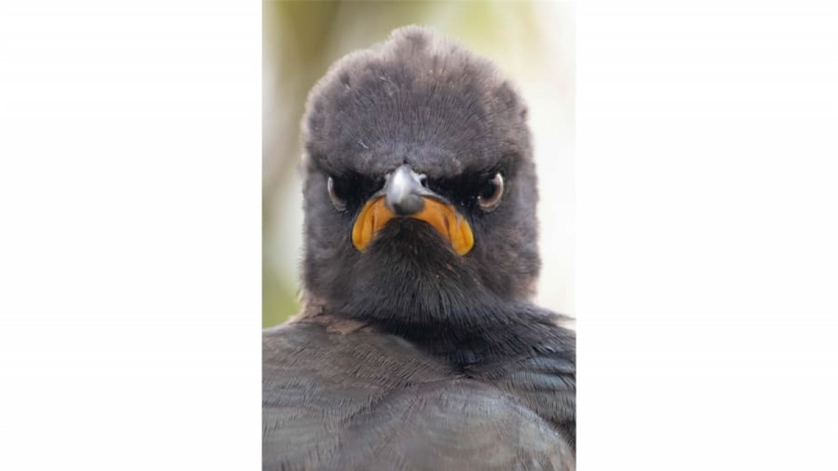 Chú sáo khoang ở Rietvlei, Nam Phi này dường như có một buổi sáng thức dậy không mấy vui vẻ. Khoảnh khắc cau có của chú chim này được tái hiện sống động dưới ống kính của nhiếp ảnh gia Andrew Mayes.
