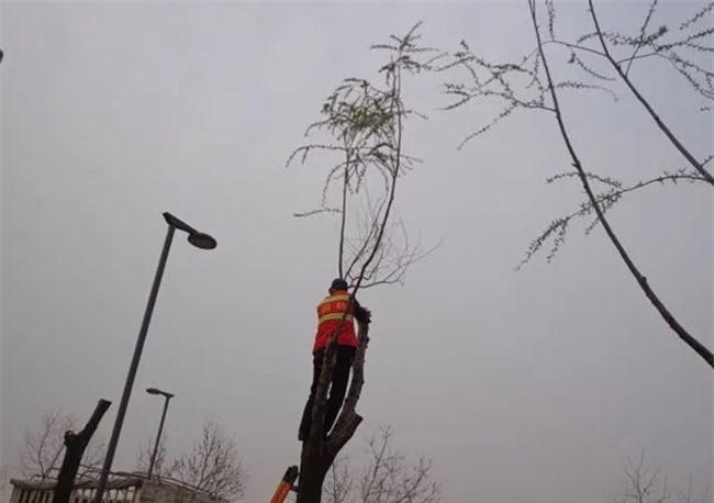 Loài cây không ai nghĩ có thể ăn được, người Trung Quốc rủ nhau hái trụi công viên 1