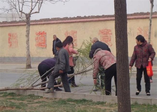 Loài cây không ai nghĩ có thể ăn được, người Trung Quốc rủ nhau hái trụi công viên 3