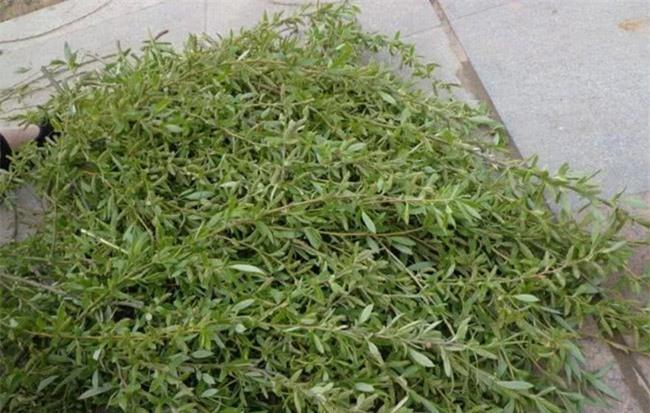 Loài cây không ai nghĩ có thể ăn được, người Trung Quốc rủ nhau hái trụi công viên 6