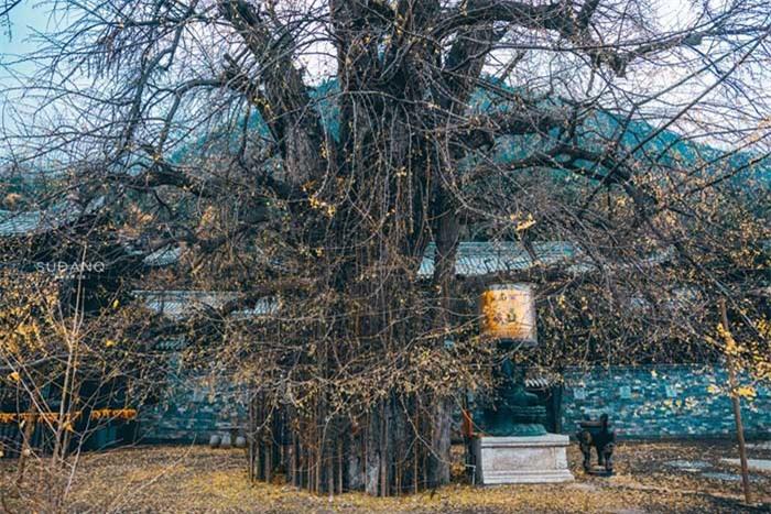 Ngôi chùa hàng nghìn năm tuổi bỗng dưng nổi tiếng chỉ vì loài cây này 8