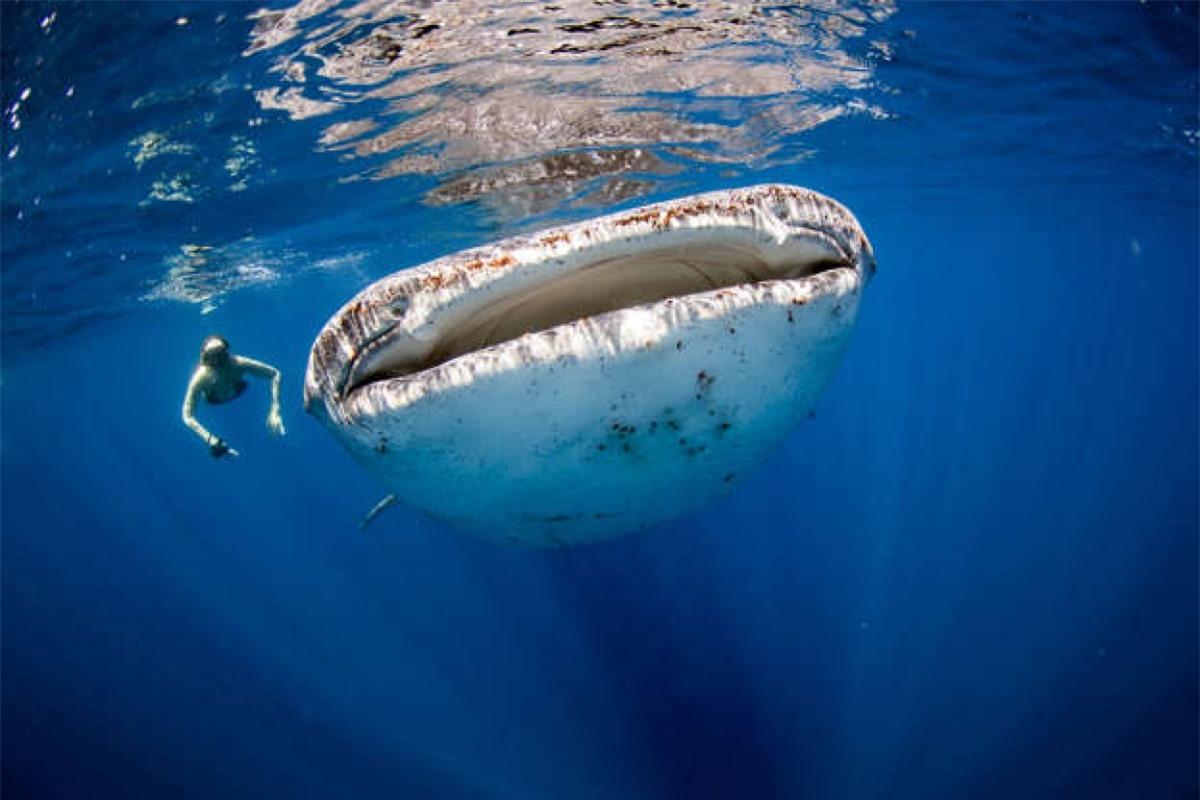 Một người phụ nữ bơi cạnh một chú cá nhám voi - loài cá lớn nhất đại dương. Mặc dù có kích cỡ khổng lồ nhưng những chú cá này thường thích ăn các sinh vật phù du.