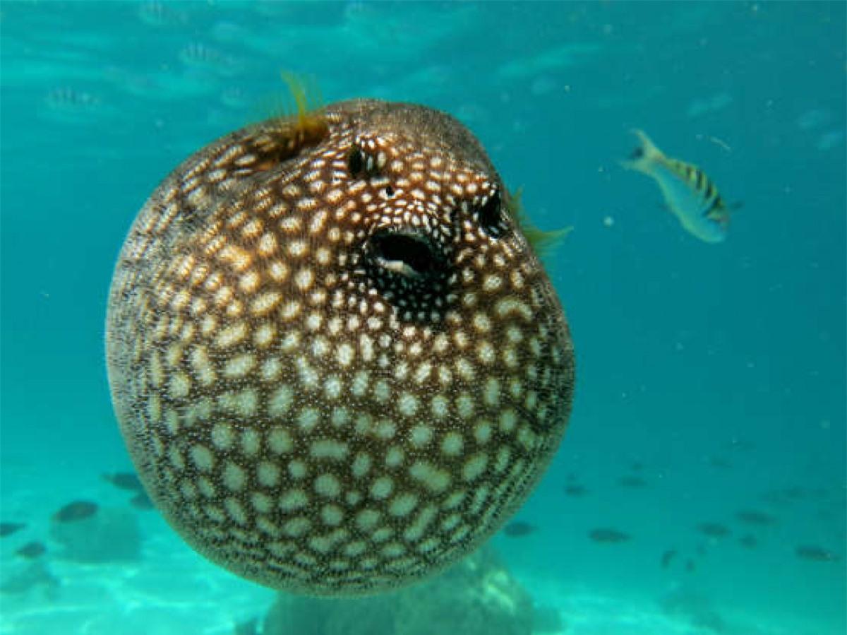 Một chú cá nóc ở đảo Moorea, Polynesia thuộc Pháp. Có hơn 120 loài cá nóc và hầu hết chúng đều chứa một chất độc gọi là tetrodotoxin. Chất độc này mạnh hơn 1.200 lần cyanide và lượng chất độc trong 1 con cá nóc có thể giết chết 30 người, National Geographic cho biết.