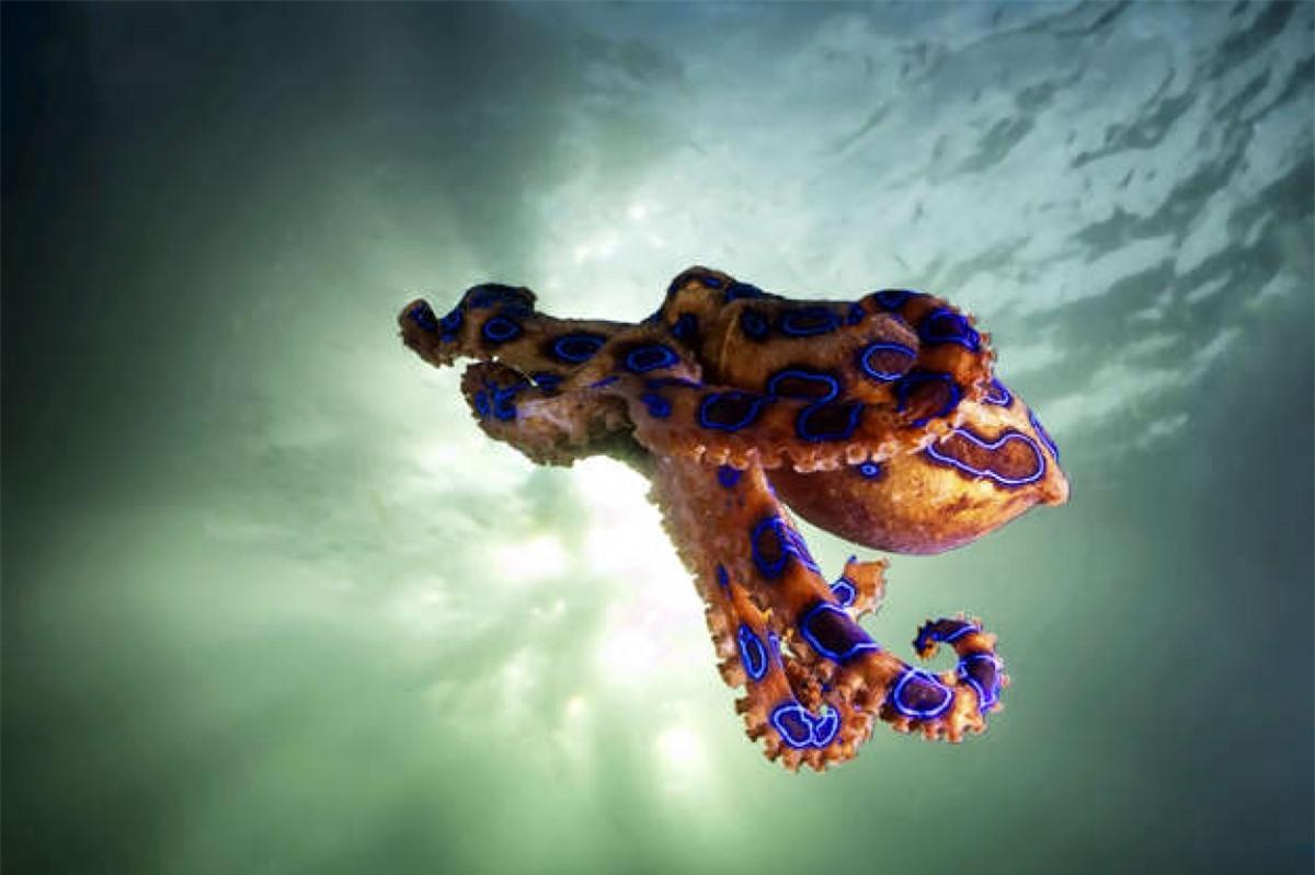 Một trong những loài bạch tuộc độc nhất thế giới là bạch tuộc đốm xanh. Chất độc của nó mạnh hơn cyanide tới 1.000 lần và loài sinh vật nhỏ bé này có lượng chất độc có thể khiến 26 người trưởng thành tử vong chỉ trong một vài phút.