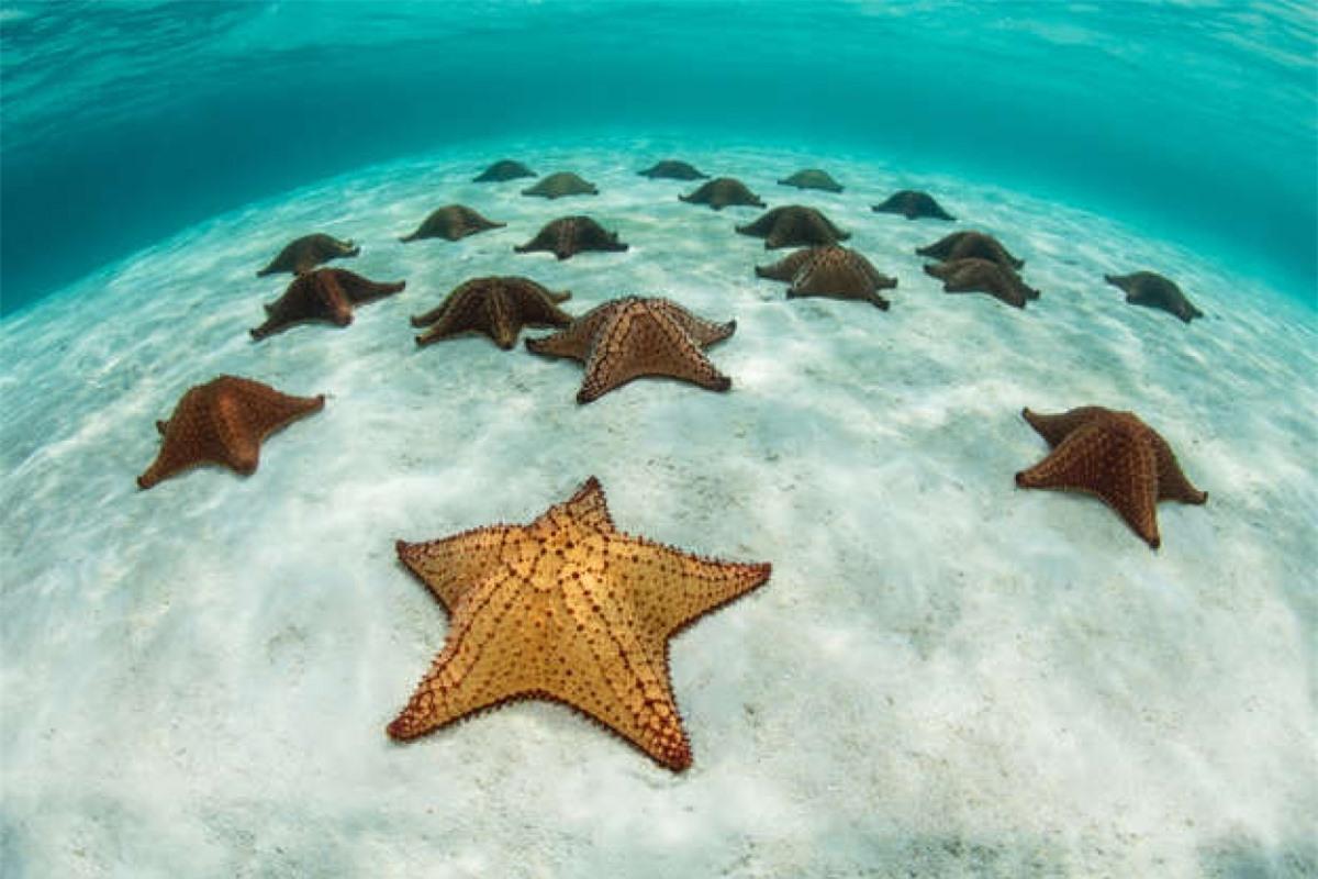 Những chú sao biển ở một vùng nước nông ngoài khơi Belize ở Biển Caribe.
