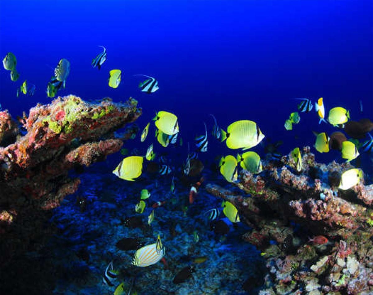 Những đàn cá rực rỡ màu sắc bơi qua Rạn san hô vòng Pearl và Hermes ở quần đảo Hawaii.