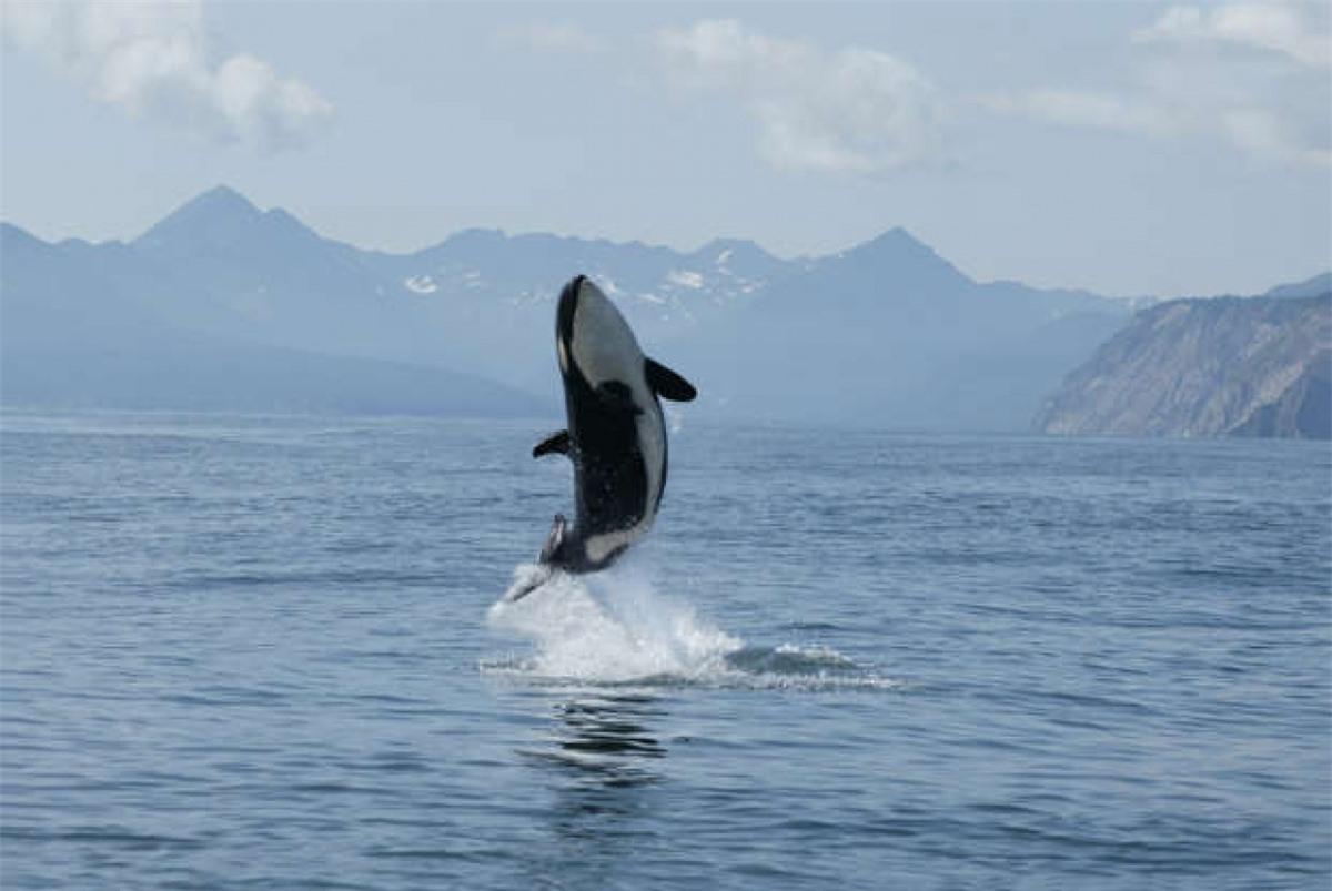 Cá voi sát thủ nhảy lên khỏi mặt nước là một trong những cảnh tượng ngoạn mục nhất trên đại dương. Loài sinh vật to lớn này thuộc họ cá heo nhưng chúng đứng đầu chuỗi thức ăn khi săn mồi đủ các loại sinh vật khác nhau từ chim cánh cụt, hải cẩu, sư tử biển và thậm chí cả cá voi./.