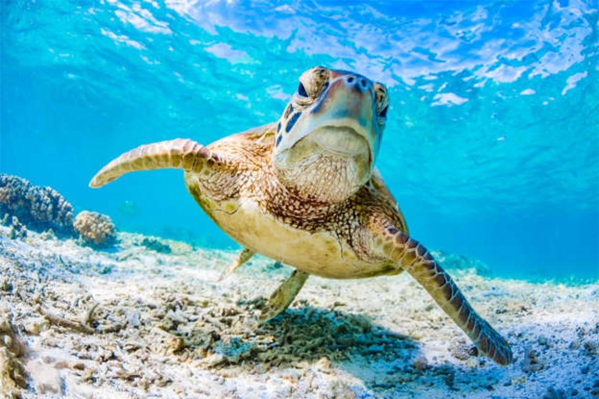 Một chú rùa xanh bơi ở Great Barrier Reef, Queensland, Australia. Loài động vật này có thể sống lâu tới 80 năm và dài 1,5 mét.