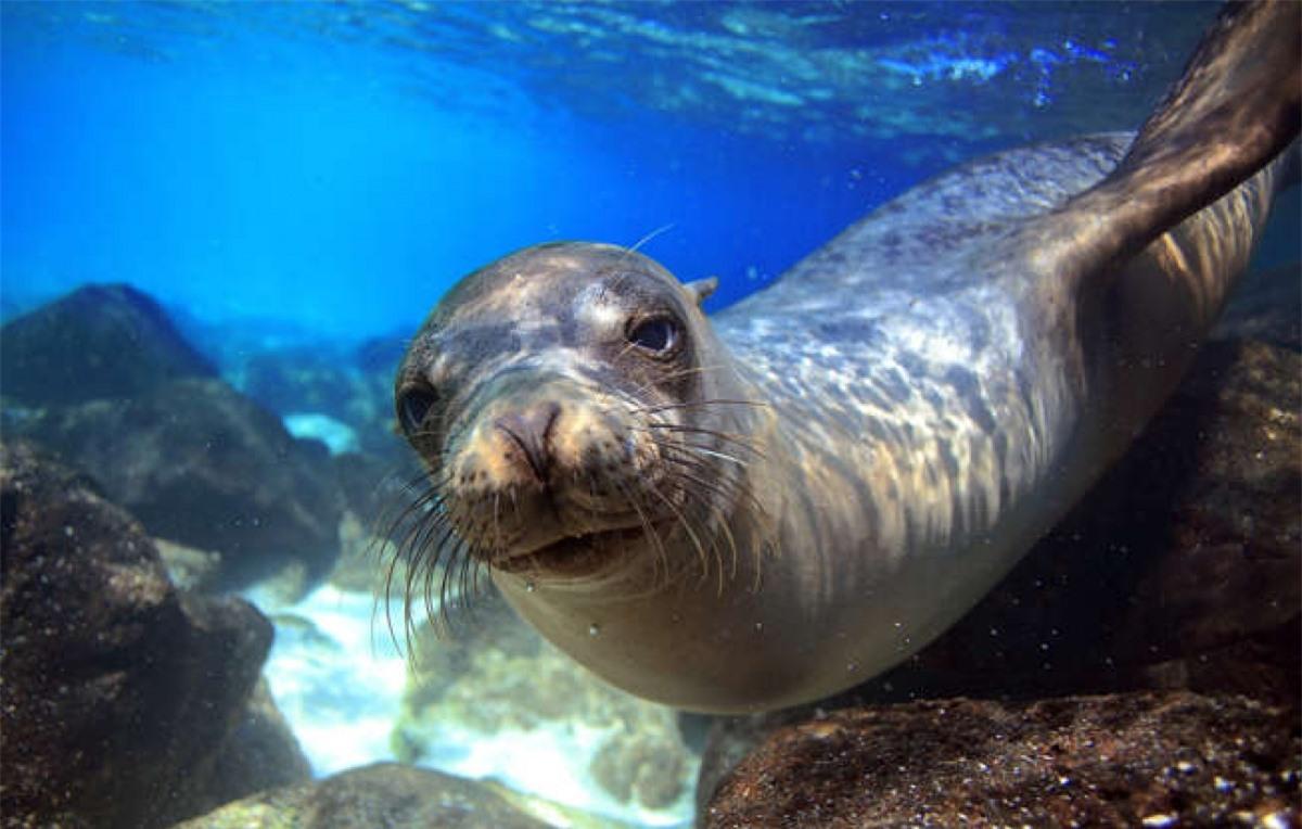 Sư tử biển California nhanh hơn bất kỳ loài hải cầu nào khác khi chúng có thể bơi với vận tốc lên đến 40km/h và có thể làm chậm nhịp tim để có thể ở dưới nước tới 10 phút.