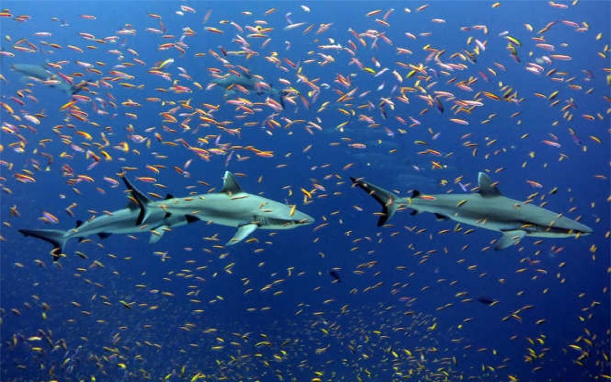 Những chú cá mập sọc trắng bơi cùng những chú cá thia hồng sặc sỡ ở Jarvis, Thái Bình Dương. Những chú cá đực của loài này có thể dài tới 1,5 mét.