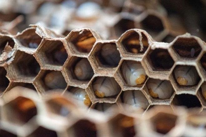 1.500 ấu trùng ong được phát hiện trong tổ ong mới được phát hiện. Ảnh: WSDA.