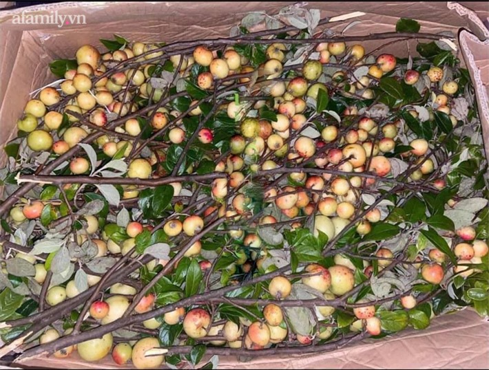 Táo mèo cành sai trĩu quả được hội chị em Hà Thành nô nức mua về cắm bình vừa ngắm vừa ăn, tiểu thương