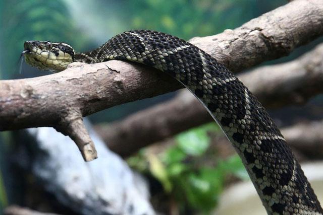 Loài rắn được các nhà khoa học sử dụng để nghiên cứu về hiện tượng ô nhiễm phóng xạ tại Fukushima. Ảnh: Reuters.