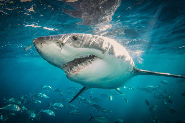 Cá mập cắn chết người đàn ông lướt sóng ở Australia