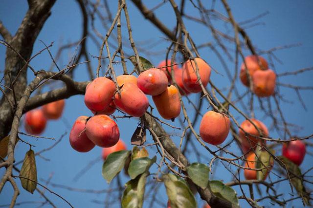Chữa bệnh từ cây hồng - 'thứ quà của mùa thu'