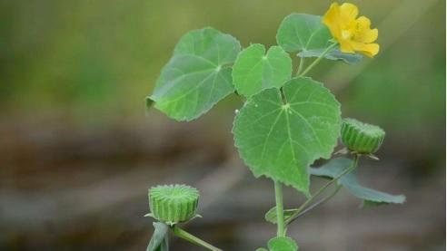Sản phẩm chứa thành phần chính từ cây cối xay tốt cho người bị ù tai.
