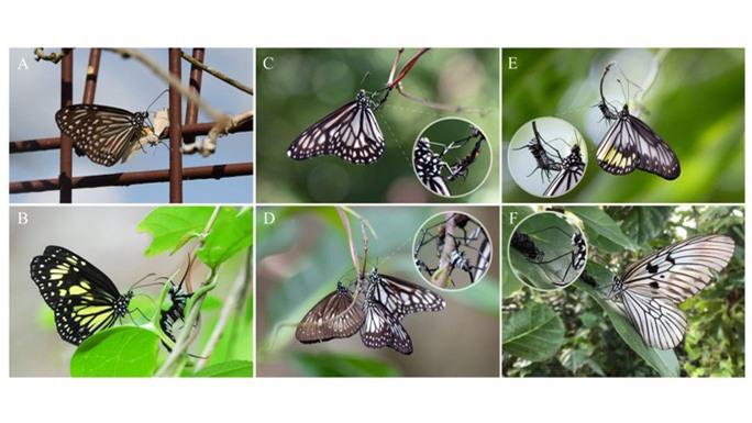 Phát hiện hành vi ghê rợn của loài bướm - Ảnh 1.