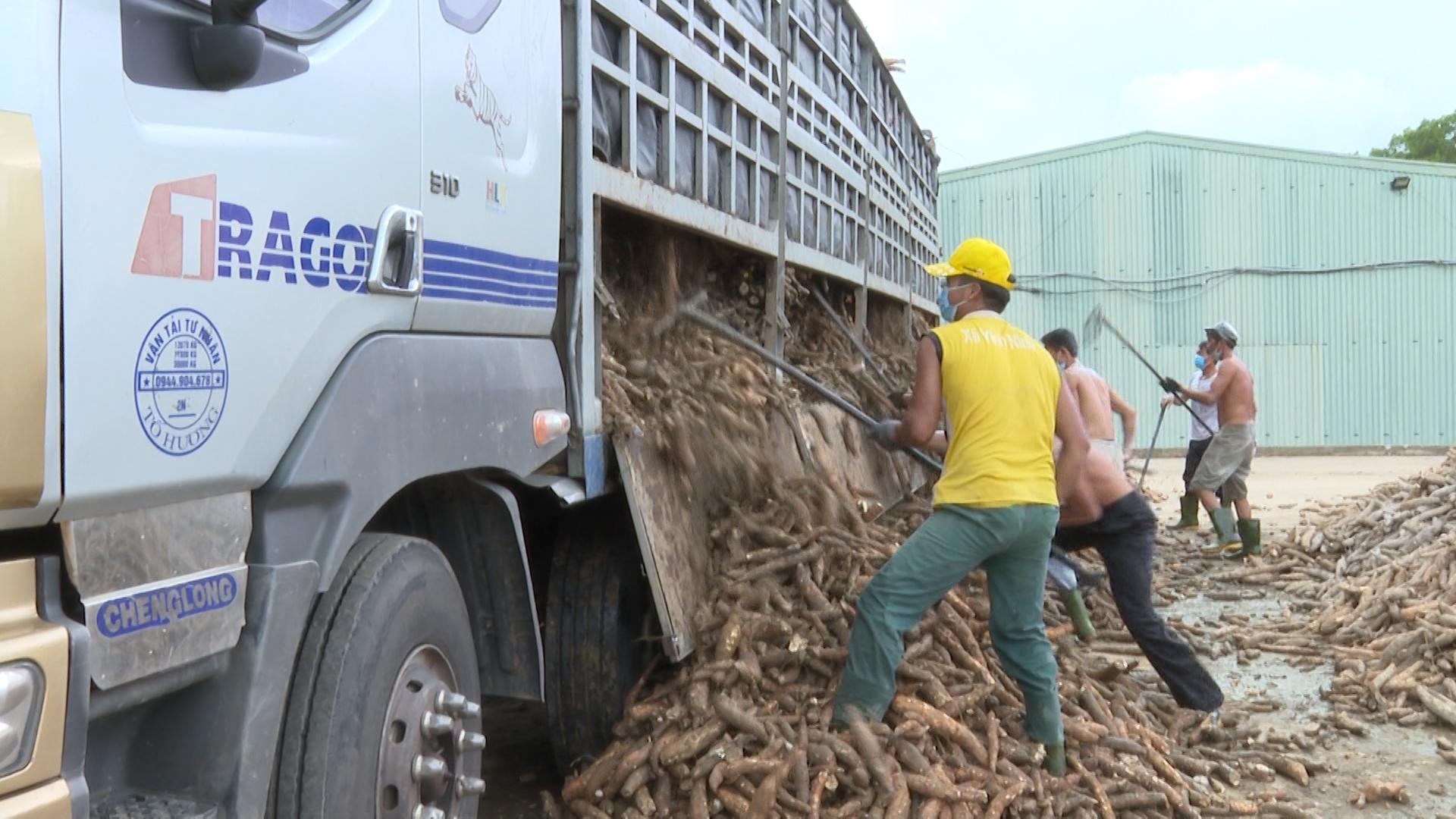 Mỗi ngày nhà máy Tinh bột Long Giang  thu mua từ 300 – 350 tấn củ sắn cho bà con nông dân. (Ảnh: Phan Tiến)