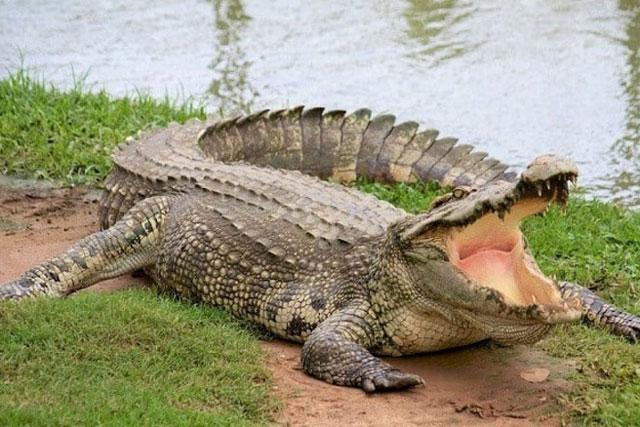Tìm thấy cổ vật trong bụng cá sấu