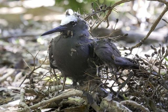 Loài cây chuyên giết chim bằng cách gieo hạt giống