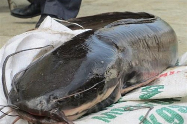Cá trê dễ nhiễm thủy ngân không nên ăn nhiều