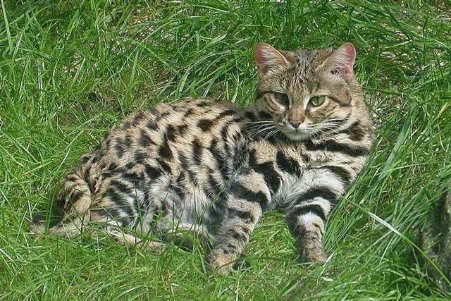 """Loài mèo siêu đáng yêu nhưng là """"tay"""" săn mồi hiệu quả nhất hành tinh"""