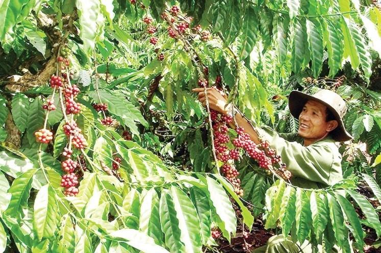 vùng sản xuất cà phê ứng dụng công nghệ cao tại xã Thuận An có liên kết chuỗi giá trị, ứng dụng khoa học kỹ thuật vào sản xuất, tạo bước đột phá, nâng cao thu nhập cho người dân.