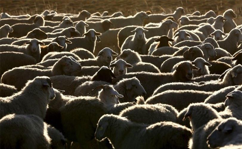 Bầy cừu hàng nghìn con là vật nuôi chủ yếu ở Tuva.