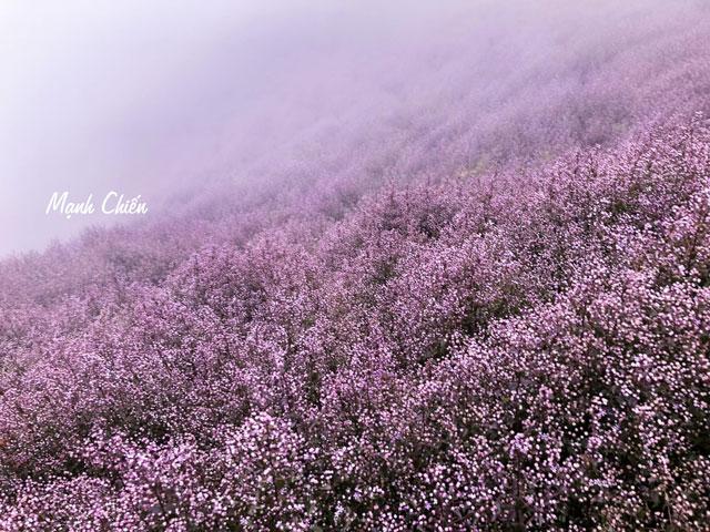 Hoa tím ngợp trời ở Tà Chì Nhù