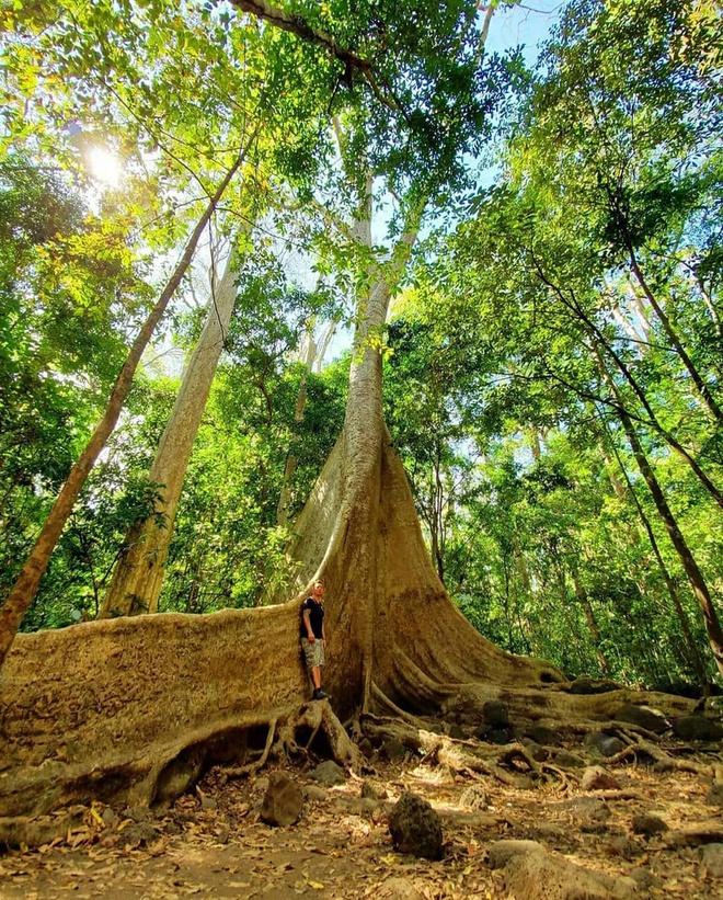 """Theo trang thông tin của vườn quốc gia Cát Tiên, cây tung có danh pháp khoa học là Tetrameles nudiflora. Cây tung cổ thụ cao hơn 30 m, đường kính rộng 2-3 m, phải 20 người mới ôm hết vòng thân. Rễ cây có dạng bạnh vè dài hơn 20 m, chỗ cao nhất 3 m nổi trên mặt đất. Với hình dáng độc đáo, cây này được ví """"thằn lằn sấm"""" của Cát Tiên. Ảnh: Travel.with.hieu.chu."""
