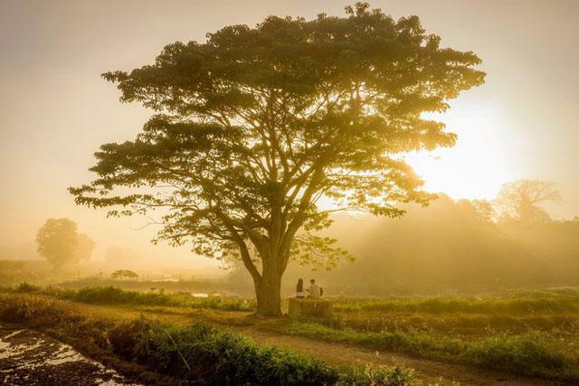 """Cây cô đơn trong phim """"Mắt Biếc"""" của đạo diễn Victor Vũ nằm ở làng Hà Cảng, xã Quảng Phú, huyện Quảng Điền, tỉnh Thừa Thiên - Huế. Cây này thực chất là loại vông đồng. Tuy nhiên sự nổi tiếng của bộ phim khiến nhiều người quen gọi nó với cái tên Mắt Biếc hay """"cây cô đơn"""". Ảnh: Kelvin Long."""