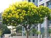 6 loại cây bóng mát, ít rụng lá thích hợp để trồng trước nhà