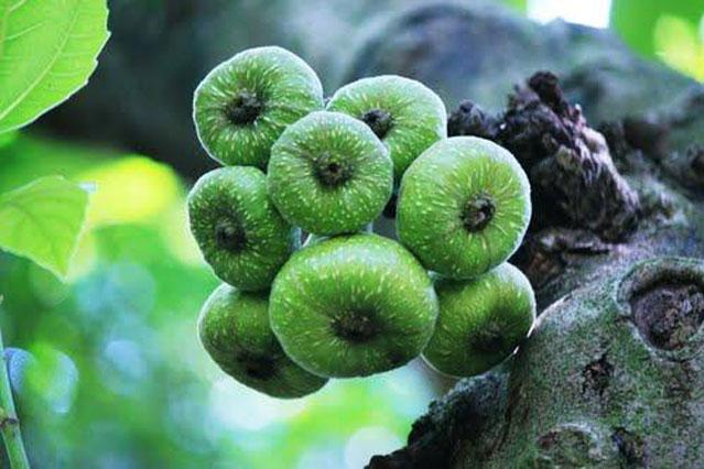 Dưỡng chất từ trái vả giúp chữa nhiều bệnh tật