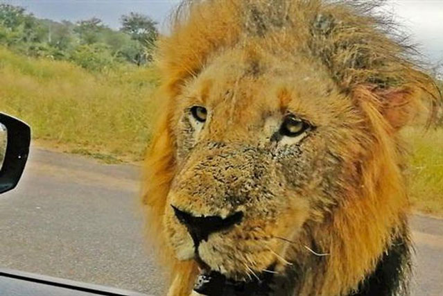 Quên kéo kính xe, gặp ba sư tử: Cái kết bất ngờ