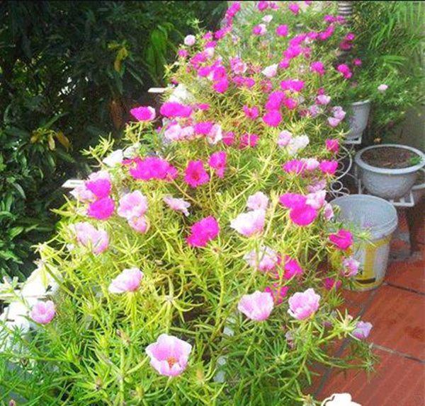 Những loại cây nở hoa đẹp và chịu được nắng, mùa hè nhất định phải trồng ở ban công