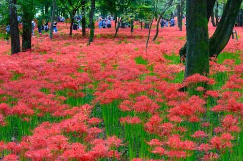 Xao xuyến ngắm sắc đỏ đầy mê hoặc của loài 'hoa địa ngục' khi thu về