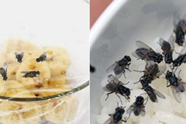 Bẫy ruồi chỉ cần 1 trái chuối, cả đàn có vào không có ra, nằm bất động chịu trận