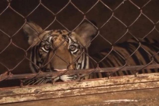Nghệ An: Liên tiếp bắt giữ nhiều vụ nuôi nhốt hổ trái phép
